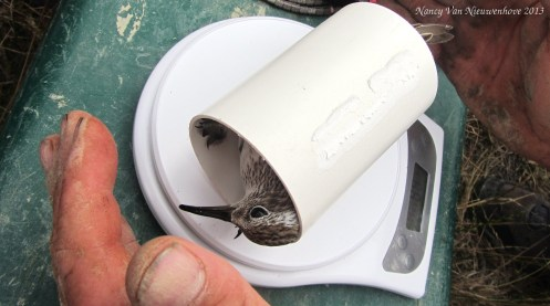 Sandpiper in a tube. Because screw individually bagging birds, if you've got a lot of them to weigh.